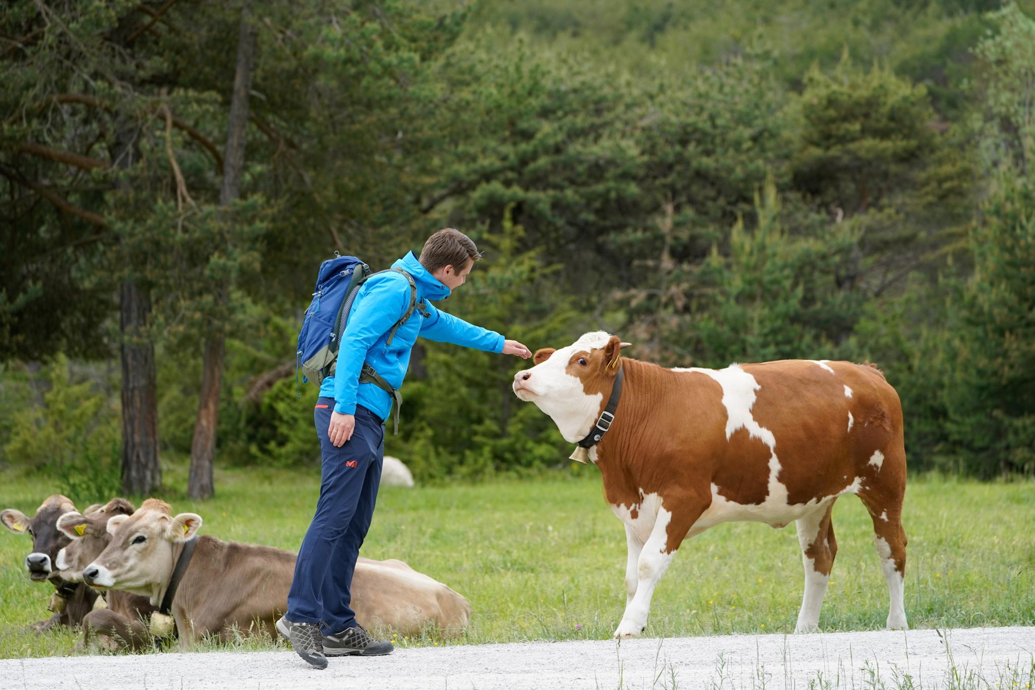 Koeienfoto's Innsbruck