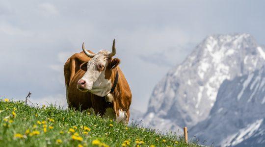 De koeien staan weer op de Alm!